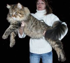 Maine Coon Cats are so beautiful and their tails are so fluffy!