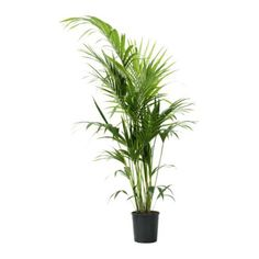 HOWEA FORSTERIANA Potted plant IKEA - brings life to room. Pot it in woven basket pot also from Ikea