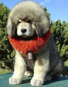 Tibetan Mastiff.He is so big and fluffy. Please check out my website Thanks.  www.photopix.co.nz