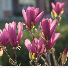 Fragrant shrubs | Garden Gate eNotes magnolia