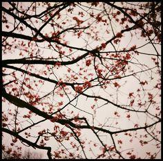 A Cherry Blossom Sky