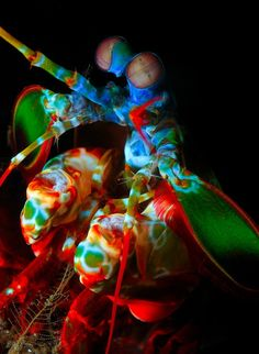 The Mantis Shrimp has the most complex eyes in the animal kingdom. While humans only have 3 color receptive cones that allow us to see color, the Mantis Shrimp has 16 color receptive cones! Imagine all the types of colors they can see!