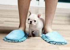 Amazing Bogie - Mini French Bulldog / Art