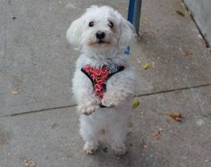 Coco 2102Age: 10 years Sex/Altered: Male/ Neutered Weight:13.2lbs Breed: Maltese/Poodle Mix Foster Home Location:TORONTO, ON Adoption Fee: $350.00 Temperament: Easy going, sweet, calm, gentle Activity/Energy Level: Moderate, loves to go on walks but is content to be by you at home Origin: Owner surrender
