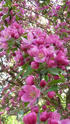 I want these blossom trees in my yard. Flowers Nature, Exotic Flowers, Amazing Flowers, Flowers Garden, Pretty Flowers, Planting Flowers, Apple Tree Blossoms, Blossom Trees, Blooming Flowers