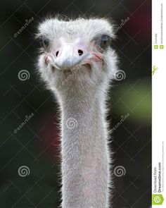 Smiling Ostrich   Close Up Of African Ostrich Showing Eyes And Beak Stock Photography ...