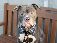 A1064148_Cain4 MALE, GRAY / WHITE, AM PIT BULL TER MIX, 5 yrs OWNER SUR – EVALUATE, NO HOLD Reason MOVE2PRIVA Intake condition EXAM REQ Intake Date 02/01/2016, From NY 11234, DueOut Date 02/01/2016, I came in with Group/Litter #K16-046604.