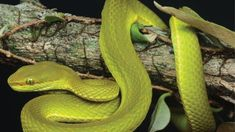 A species of green pit viper snake discovered in India has been named after the character Salazar Slytherin from JK Rowling& Harry Potter series. Harry Potter Stories, Harry Potter Wizard, Slytherin Harry Potter, Slytherin House, Harry Potter Characters, Hogwarts Houses, Serpent Venimeux, Snake Names, Hogwarts Founders
