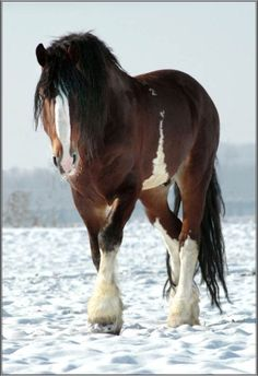 Clydesdale - I am completely fascinated by these horses.
