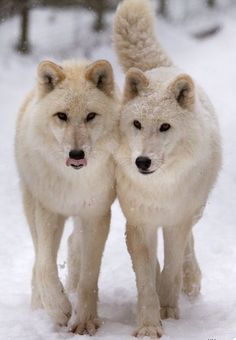 a beautiful pair of wolves they were here before us we. Black Bedroom Furniture Sets. Home Design Ideas