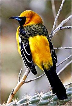 Sarı asmakuşu