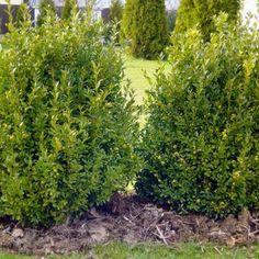 Krušpán vždyzelený – pestujeme obľúbenú okrasnú drevinu