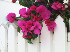 bright pink against white fence