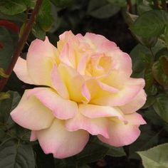 Róża GLORIA DEI Grupa Wielkokwiatowe - Szkółka Roślin Ozdobnych DAMMERA