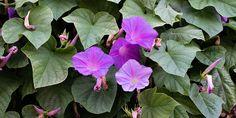 🌷🌼🌸 Πρωινή χαρά, ένα ανθεκτικό φυτό με πανέμορφα λουλούδια, ιδανικό για να απλωθεί σε φράχτη ή πέργκολα, για εδαφοκάλυψη στον κήπο και για υπέροχες κρεμαστές γλάστρες στο μπαλκόνι. 🌺 Η πρωινή χαρά αναπτύσσεται πολύ γρήγορα με χαρακτηριστικά πράσινα φύλλα σε σχήμα καρδιάς και εντυπωσιακά λουλούδια που μοιάζουν με χωνάκια. 🌻 Πρόκειται για ένα εξαιρετικά ανθεκτικό φυτό που έχει ελάχιστες απαιτήσεις σε φροντίδα.