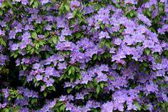 light purple azalea - Google Search