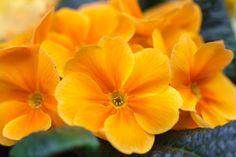 Primula_Photo by Steve Gill
