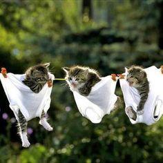 funni anim, ador anim, kittens, hang, kitti, laundry, kitty, baby cats, funny babies