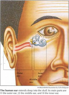 The human ear extends deep into the skull. Its main parts are the outer ear, the middle ear, and the inner ear.