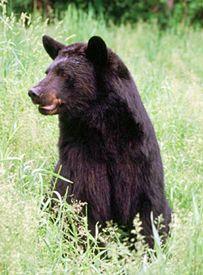 Black Bear Hunting tips