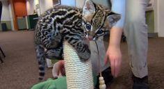 失神レベルのかわいいヤマネコ。まんまるお目目のオセロットの赤ちゃん(米オハイオ州) : カラパイア