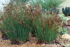This pair of Elk Blue California gray rush (Juncus patens 'Elk Blue') are further along than mine, but show the beautiful blue-gray foliage and pops of dried, rustling seed heads.