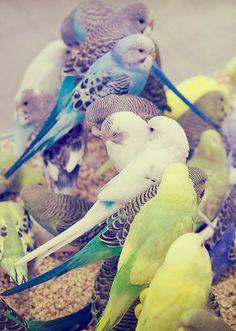 Parakeets!!!!