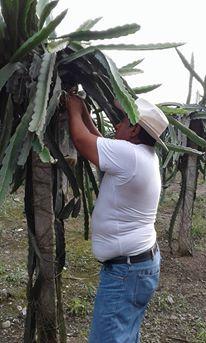91ee3276960ad Vendo plantas seleccionadas de pitahaya roja despachos a todo el pais  informes al 0990317317