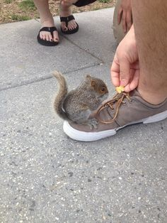 A baby squirrel crawled onto my buddy's shoe. He was just so small and trusting! Cute Squirrel, Baby Squirrel, Squirrels, Ninja Squirrel, Cute Baby Animals, Animals And Pets, Funny Animals, Squirrel Pictures, Cute Animal Pictures