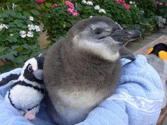 ケープペンギン雛『ナツメ』 本日からふくろう展示室に出勤となりました^^ 01/15(火)~02/28(木)まで一般公開中... on Twitpic