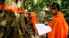 A monk has draped a tree trunk with orange cloth and is marking its location on a map. https://www.rainforest-rescue.org/mailalert/949/activists-arrested-for-defending-these-ancient-trees