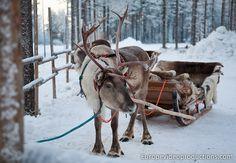 Un renne attend le Père Noël à Rovaniemi en Laponie