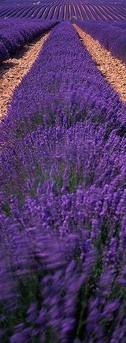 Lavender Rows : valensole plateau, provence
