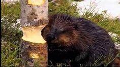Kaninen, ett hardjur som bara äter grönt, och illern, ett litet rovdjur som vill ha kött. Men små däggdjur, det är de båda två. Precis som hare, råtta, fladdermus, igelkott och mård. Black Bear, Animals, Science, Play, Nature, Animais, Animales, American Black Bear, Animaux