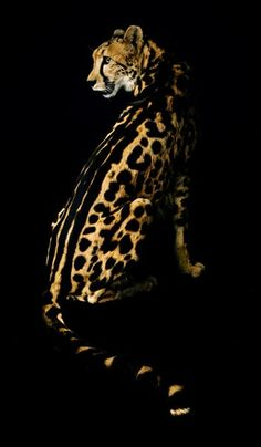 King Cheetah - The difference between a normal spotted cheetah (left) and a rare king cheetah (right) is a mutation in a single gene. - Click image to find more animals Pinterest pins