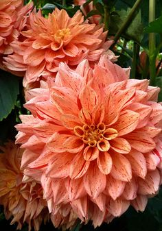 NONETTE dahlia, 1958 – Set against dark green leaves, its apricot petals are intricately speckled and streaked with burgundy for a look that's as natural as a finch's egg yet totally sumptuous. #OldHouseGardens