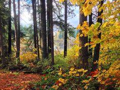 Peekaboo I see you Yellow Lake _____________________________  #Seattle #issaquah #sammamish #upperleftusa #pnwonderland #instagood #pretty #trees #fall #fallcolors #fallfoilage #autumn #autumnleaves #yellow #lake #washington #nw #northwest