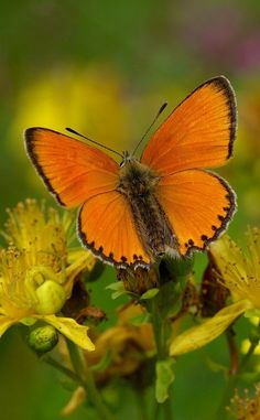 The Scarce Copper (Lycaena virgaureae). The lower surfaces of the back wings are yellowish and have only a few black dots.