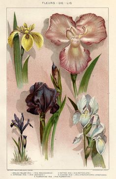 Antique Botanical print Iris Fleur De Lis Vintage 1900s Lithograph Bookplate - Great to Frame