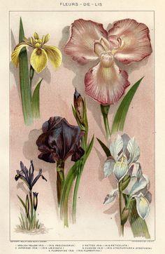 Antique Botanical Iris Fleur De Lis