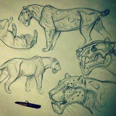 Some saber kitty studies before bed Megantereon #sketch #sabertooth #cat #megantereon #jonnadon1