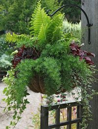How to Create Sensational Pots and Planters Fern, asparagus fern, red-leaf begonia, ivy. Container Plants, Container Gardening, Container Flowers, Succulent Containers, Plantas Indoor, Asparagus Fern, Pot Jardin, Hanging Flower Baskets, Garden Planters