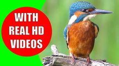 Can you identify the birds from their sounds? This video helps adults and kids learn bird sounds with high-quality bird footage in HD. In the first part of our series, you will learn the sounds of common city bird and fowls.   Children are very interested in animals and birds. Children learn birds at the preschool age by listening to birds sounds and seeing them with their own eyes. #birds #birdsounds