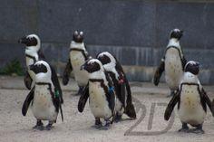 Brillenpinguin #africanpenguin
