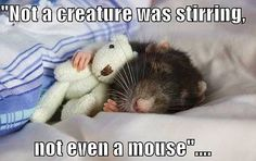 Funny pictures about Rats with their teddy bears. Oh, and cool pics about Rats with their teddy bears. Also, Rats with their teddy bears. Funny Mouse, Cute Mouse, Funny Rats, Baby Mouse, Baby Animals, Funny Animals, Cute Animals, Cage Rat, Rats Mignon