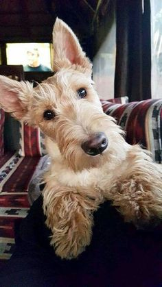 Beautiful wheaten Scottish terrier #maledogsstuff