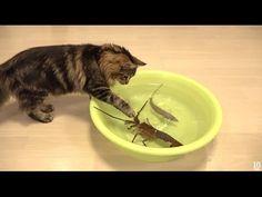 Japanese spiny lobster vs Cat 猫vs伊勢海老 - YouTube