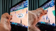 Sport-Loving Golden Retriever Follows Ball Around the Screen During Games [Video]    https://blog.shareyourpet.co.uk/sport-loving-golden-retriever-follows-ball-around-the-screen-during-games-video/?utm_source=SocialAutoPoster&utm_medium=Social&utm_campaign=Pinterest