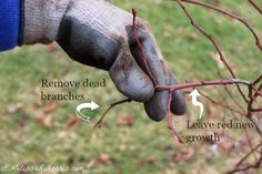 Want a larger blueberry harvest? Learn how to prune blueberries in this easy step by step tutorial for a larger harvest. Plus, she gives some great tips on how what to put on your plants in spring for the health of the plant. Perfect if you ever plan on having blueberries or need to give yours some care.