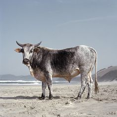 There is amazing exquisiteness to Daniel Naudé's work, a South African Photographer. Naudé began this Animal Farm series during a road trip from Cape Town to Mozambique in Capturing str… African States, Farm Photography, Farm Animals, Digital Art, Pets, Paintings, Beach, African Animals, African Art